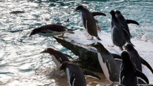 The zoo's penguin have been reintroduced to the pool over the past few weeks and have started to use the new facilities, such as the diving board