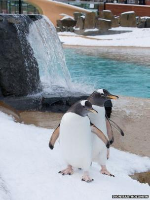 Edinburgh Zoo retained 29 gentoo penguins which had been staying in Belfast and Denmark while the enclosure was shut