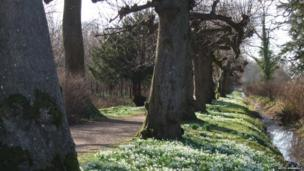 Snowdrops among trees