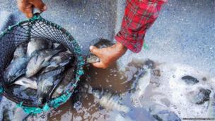 A fisherman picks up Tilapia fish from the bottom of his boat