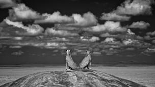 Lookout for lions © Charlie Hamilton James (UK)