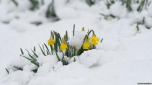 Daffodils in the snow in Rowen, Conwy Valley