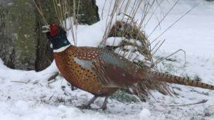 Pheasant. Photo: Tim Dennis