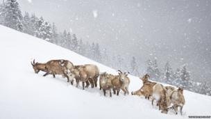 Bighorn sheep in Canada's Banff National Park photographed by Vladimir Medvedev