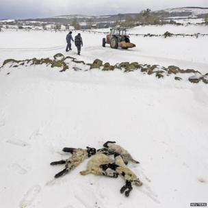 Dead lambs lie in snow in the Aughafatten area of County Antrim, Northern Ireland, 26 March