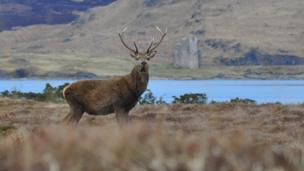 Stag on shores of Loch Assynt