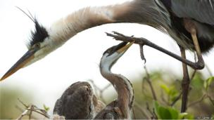 A young Great Blue Heron grabs hold of a mature heron's foot