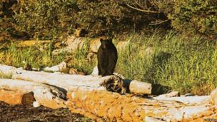Bear stands on a log