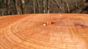 Newly cut Douglas Fir