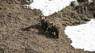 Turkish brown bear cubs