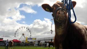 Cow and Ferris wheel