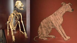 The skeleton of the dog found on the Mary Rose and a drawing of what it is thought to have looked like
