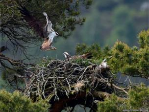 A female Osprey receives a fish at the Loch of the Lowes nature reserve near Dunkeld in Scotland
