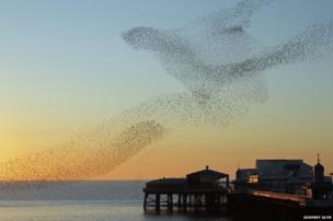 Starlings in Blackpool