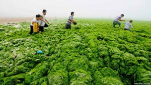 People walk through algae-covered seaside in Qingdao, Shandong province