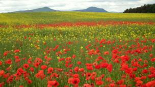 Poppies and buttercups in a field