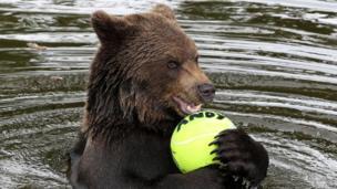 Bear holding tennis ball.
