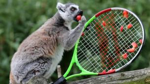 Ring tailed lemur eating strawberry.