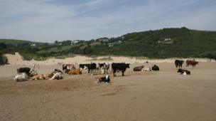 Cows on Three Cliffs Beach, Gower as spotted by Charles Meaden