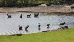 Deer in water