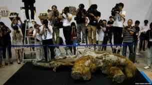 Members of media film 39,000-year-old female Woolly mammoth