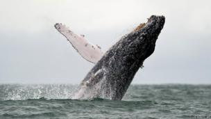 A humpback whale surfaces