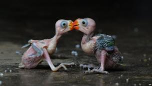 Indian parrot hatchlings