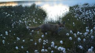 Fox at Forsinard
