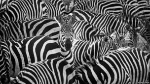 A zebra pops up to say hello.