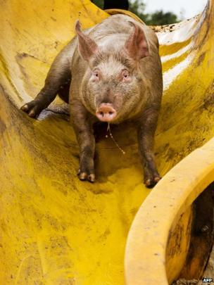 A pig uses a slide to get into the mud pool at a farm in Bathmen on August 6, 2013.