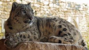 Pregnant snow leopard at Twycross Zoo