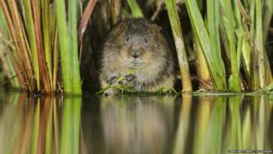 Water vole / Terry Whittaker / 2020VISION