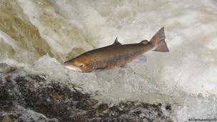 Leaping salmon / Lorne Gill / 2020VISION