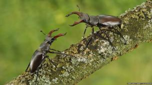 Stag beetles / Terry Whittaker/ 2020VISION