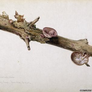 Himeola auricula