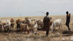 Local pastoralists lead their livestock to the water draining from the borehole, Kenya