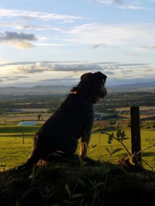 Rowan the border terrier