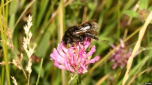 Short-haired bumblebee on a flower
