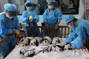 New-born panda cubs on show during a press conference