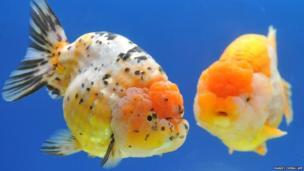 Two giant Ranchu fish