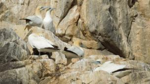 Gannets on Bass Rock
