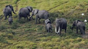 Elephants react to an approaching aeroplane