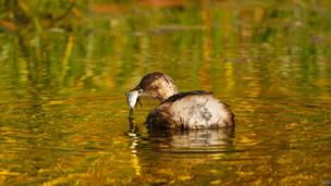 little grebe catching a fish