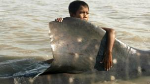 An Indonesian youth clings on the dorsal fin of a beached whale shark as fishermen prepare to pull it back to the sea at Kenjeran beach in Surabaya, East Java, Indonesia, Tuesday, Oct. 22, 2013. The whale survived and successfully released back into the sea