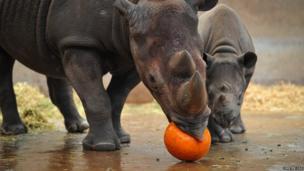 Rhino biting a pumpkin