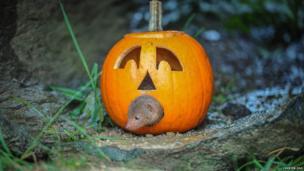 Dwarf mongoose crawling through a pumpkin