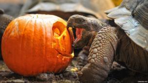 Galapagos tortoise biting a pumpkin