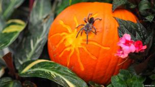 Spider crawling over a pumpkin