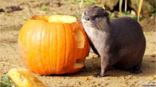 Otter next to a pumpkin