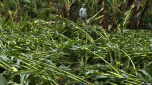 Farmer looks at damaged crops
